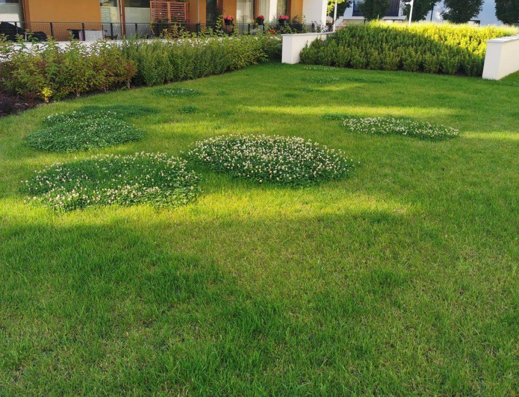 Trawnik między blokami, na którym wyrasta koniczyna. Świetnie sobie radzi, zaczyna kwitnąć. Widać w tle także krzewy i drzewa.