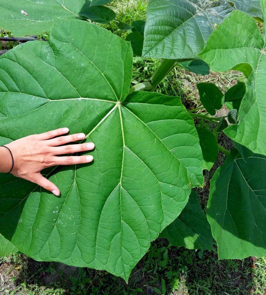 Paulownia -- liść odmiany Oxytree. Olbrzymie liście tego drzewa same w sobie mają niemałą wartość dekoracyjną.