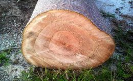 Paulownia – drzewo nie tylko ozdobne